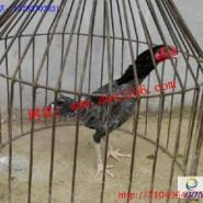 纯种越南斗鸡苗销售图片