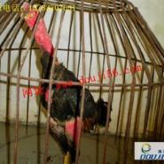 越南斗鸡比赛视频/斗鸡打斗视频图片