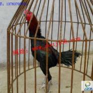 越南斗鸡/越南斗鸡比赛图片