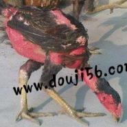 越南斗鸡苗纯种越南斗鸡苗图片