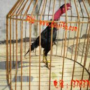 中原斗鸡比赛视频中原斗鸡比赛图片