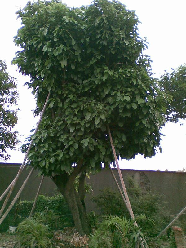 树 榕树 600_800