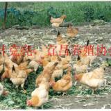 供应鸡母鸡土母鸡