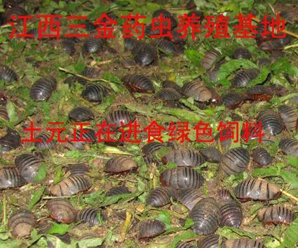 地鳖虫养殖_养殖地鳖虫生活习性早知道_其他技术_中国畜