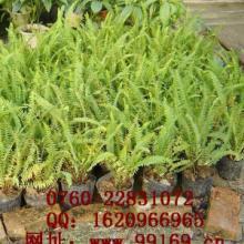 供應 腎蕨 袋苗植物 供應批發 中山銷售報價電議圖片