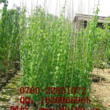 供应 炮仗花 批发供应 绿化藤本植物 价格规格批发