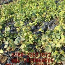供应 薜荔 大量供应藤本植物 绿资供应 优质实惠图片