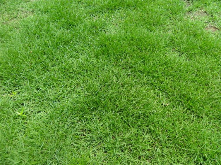 湖南草坪低价供应 龙岗马尼拉草皮图片 湖南草 高清图片