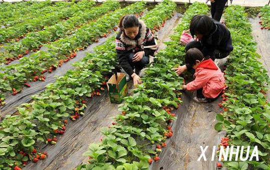 采摘好去处_附近的草莓采摘园_石家庄采摘好去处