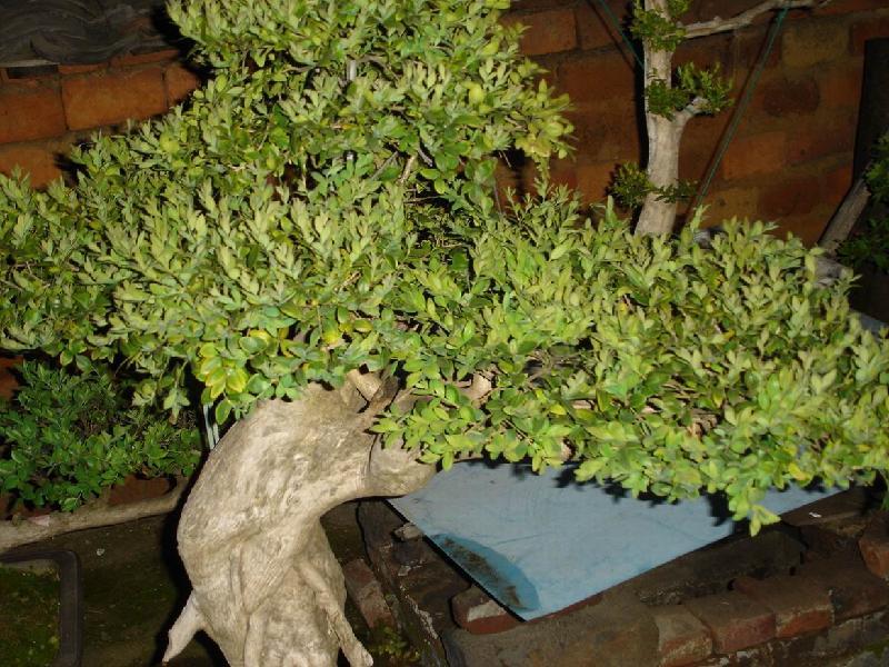 松树图片,松树盆景,松树的种类图片 松树盆景的种类和图片,松树盆