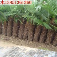 供应绿化苗木工程苗木