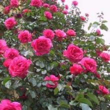 供应藤本月季藤本玫瑰
