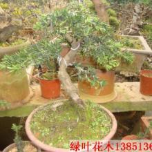 供应杂木树木盆景培植基地