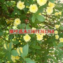 供应蔷薇绿化苗木月季基地