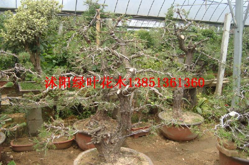 供应紫藤盆景紫薇盆景红豆杉盆景图片