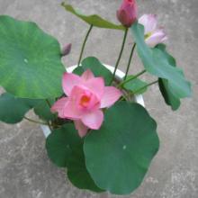 供应水生花卉睡莲荷花