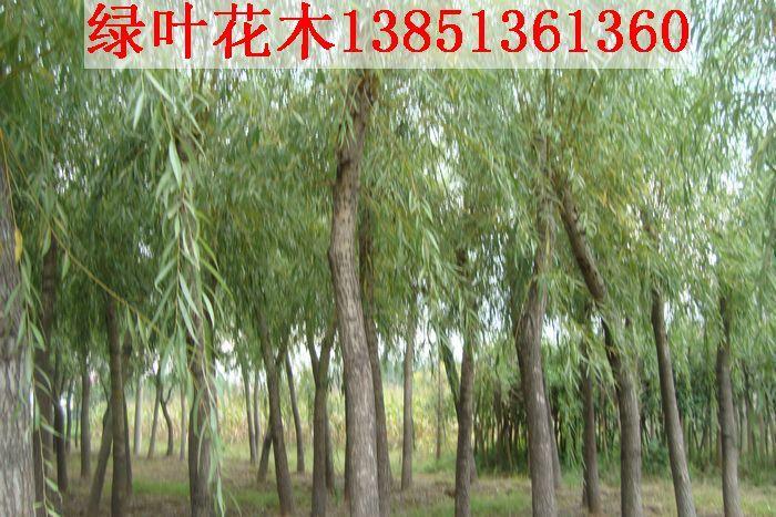 供应大规格垂柳直径15-20公分