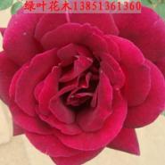 蔷薇基地月季基地攀爬植物基地图片