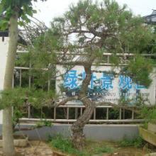 供应江苏树木盆景
