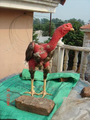 东那里有斗鸡中原斗鸡 斗鸡价格 天业斗鸡斗狗养殖繁育基地高清图片