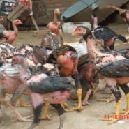 西南部最大斗鸡养殖场斗鸡比赛图片