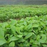 供应广西柚木苗种植