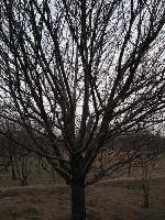 供应乔木海棠树
