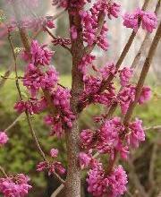 供应灌木紫荆