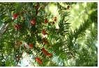 供应批发红豆杉盆景,神奇树木红豆杉。