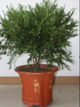 健康 红豆杉 铜仁/红豆杉健康树作为绿化新树种,红豆杉健康树作为绿化新树种现...