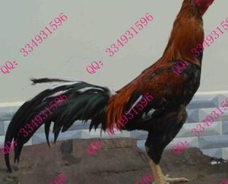 供应山东济南斗鸡…中国斗鸡养殖场山东斗鸡论坛…斗鸡苗茶具斗鸡价格价格的排水球图片
