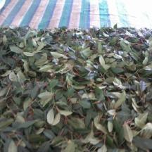 供应用于种植的云南茶苗、楚雄州茶苗、大叶种茶苗