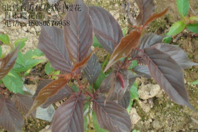 供应四川红叶樱花苗、日本樱花苗、雅安红叶樱花苗基地