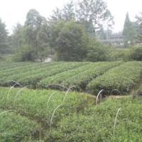 供应茶苗2011