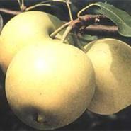 酥梨皇冠梨红香酥梨图片