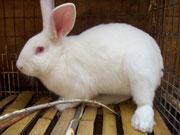 供应山东青年獭兔价格发情期獭兔价格商品獭兔最新价格肉兔最新养殖批发