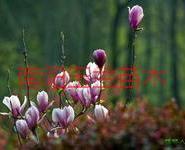紫玉兰小苗报价图片