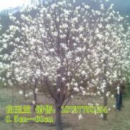 南阳15公分望春玉兰图片