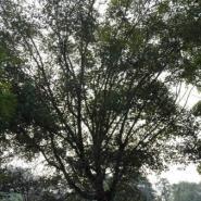 五角枫苗木价格图片