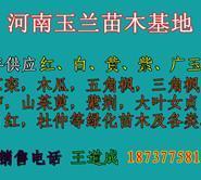 紫白黄玉兰小苗一年苗两年苗价格图片