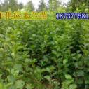 黄玉兰红玉兰小苗价格是多少图片