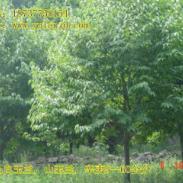 二乔玉兰苗木图片
