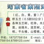10公分元宝枫图片
