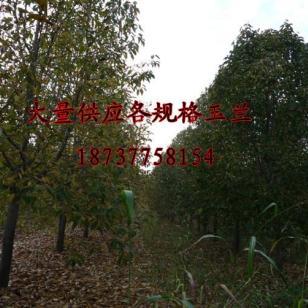 五角枫苗木基地图片