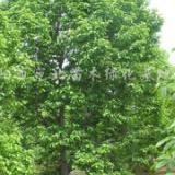 供应望春玉兰树大规格树