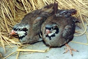 供应鹧鸪  江西鹧鸪  江西珍禽养殖  江西特禽