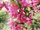 各种彩叶海棠绿叶海棠育苗基地图片
