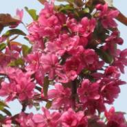北美海棠系列苗木成品半成品苗供应图片