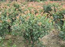 供应球类植物红叶石楠球