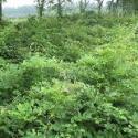 紫藤攀援缠绕性大藤本植物图片